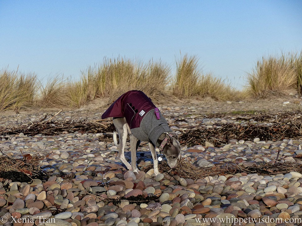 a blue and white whippet in a winter jacket sniffing the shingle and driftwood below the dunes