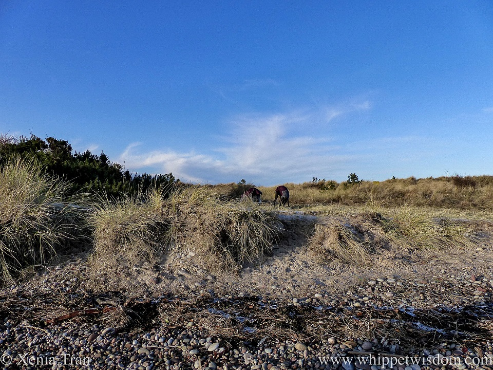 a black whippet in a winter jacket sniffing the grass in the dunes