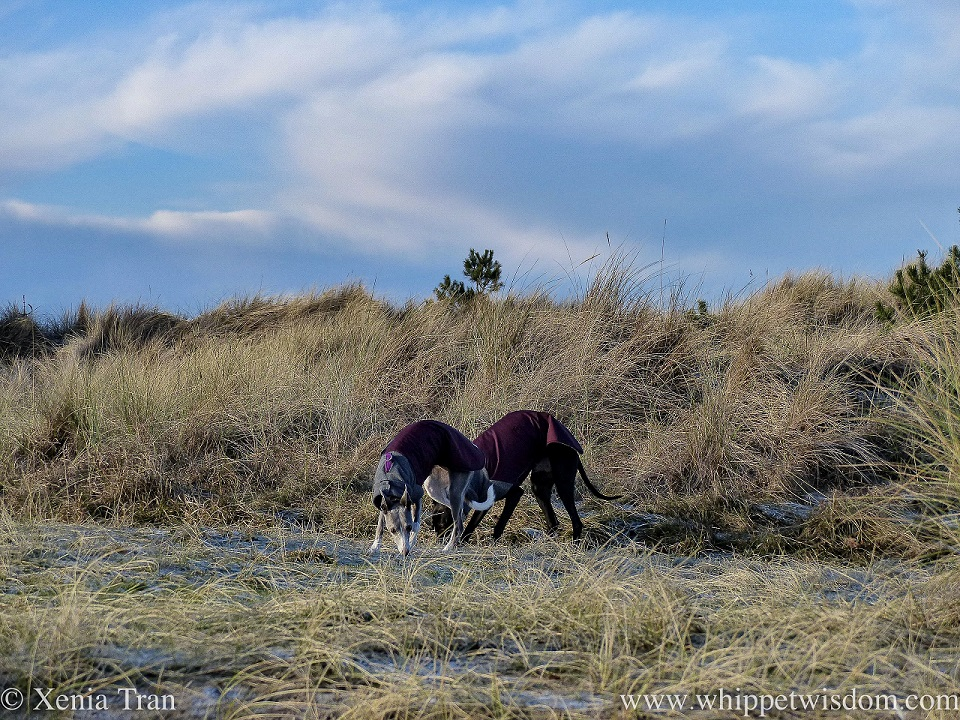 two whippets in winter jackets in the dunes with frost on the ground