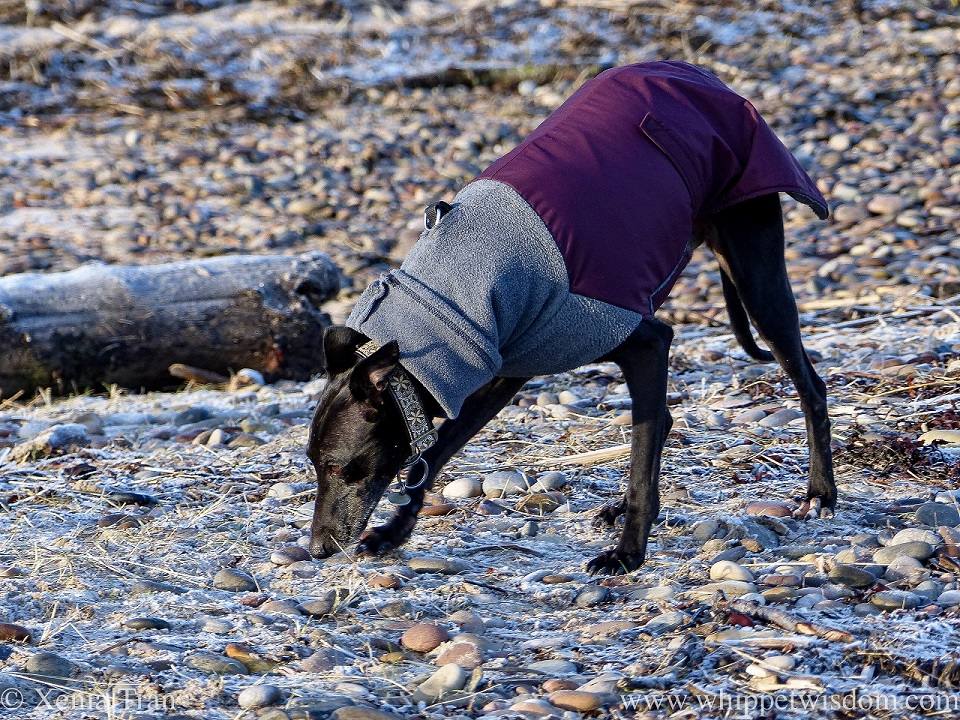 a black whippet in a winter jacket sniffing the shingle and driftwood below the dunes