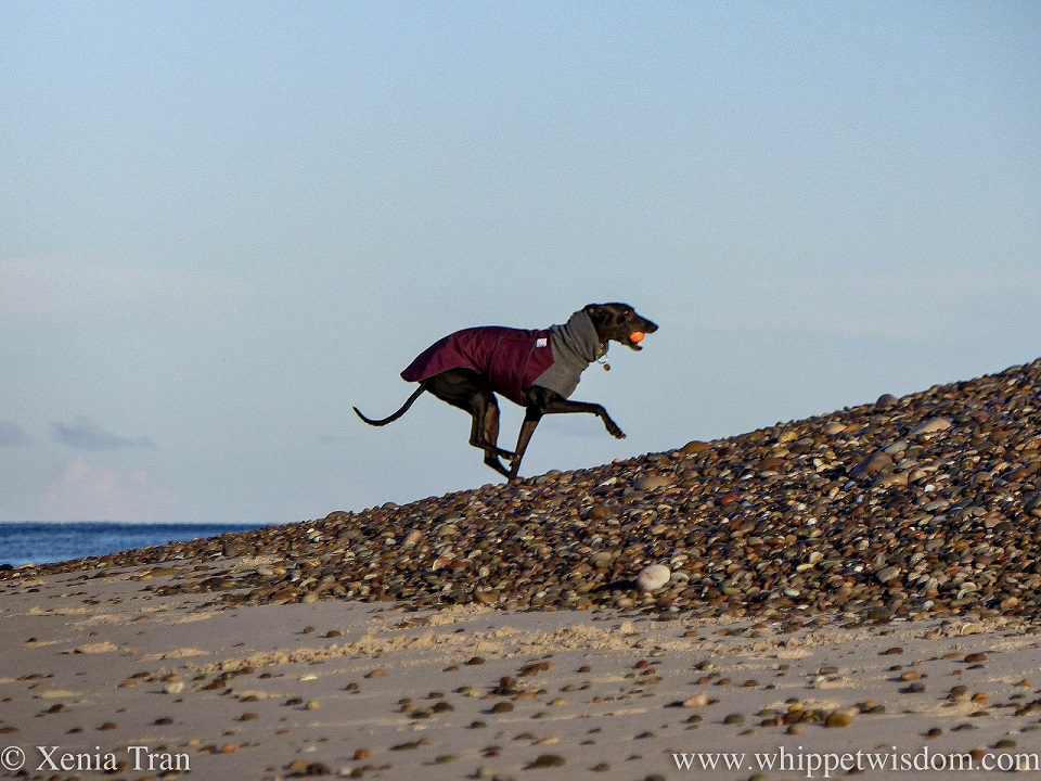 a black whippet leaping onto a bank of shingle with a ball