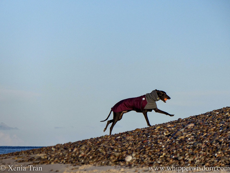 a black whippet leaping up bank of shingle with an orange ball
