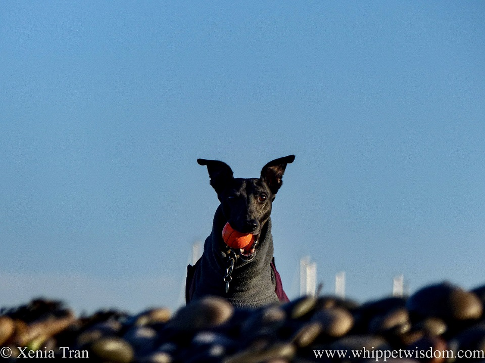 a black whippet with an orange ball peering over a bank of shingle
