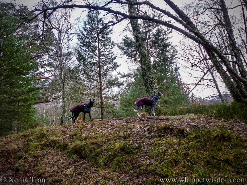 two whippets in winter jackets on the higher ground in a forest clearing, looing towards the mountains