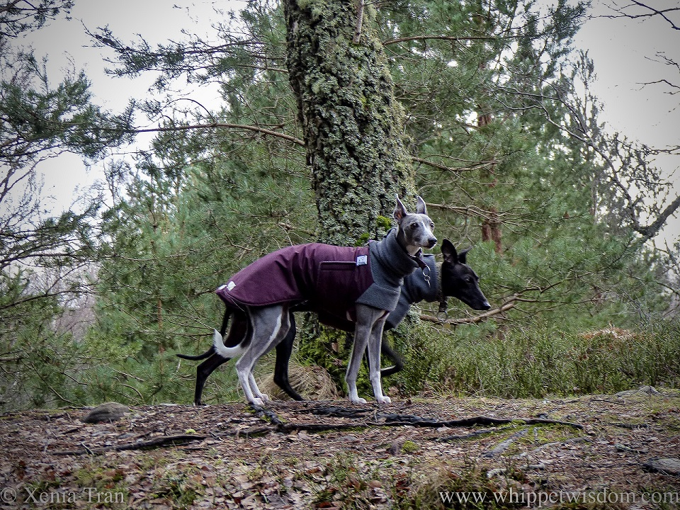 two whippets in winter jackets side by side on a forest hill