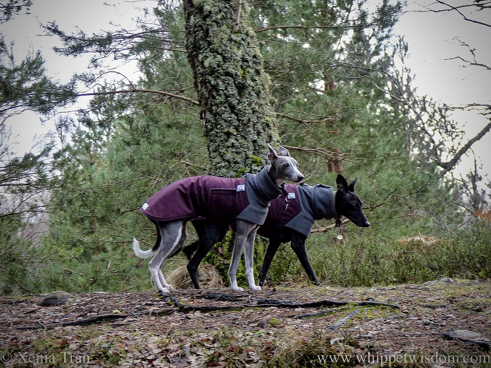 a blue and white whippet and a black whippet in winter jackets on a forest trail