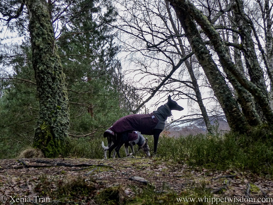 two whippets in winter jackets on a forest trail