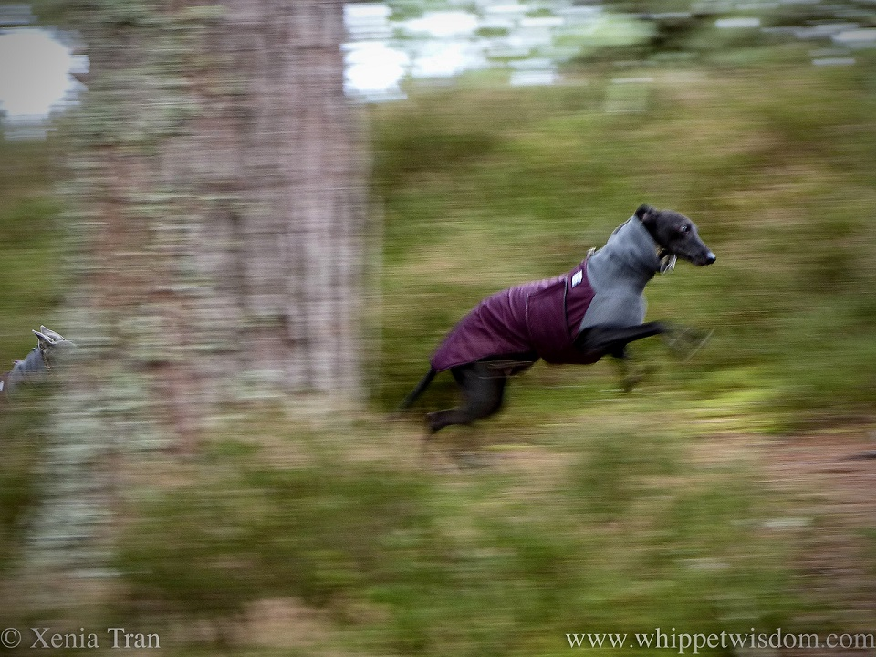 panned action shot of a leaping whippet on a forest trail
