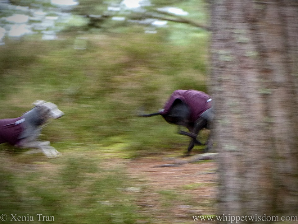 panned action shot of a leaping whippet following another on a forest trail