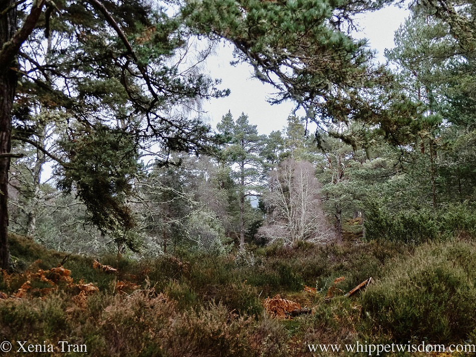 a wintry forest with leafless trees, brown heather and ferns and pine