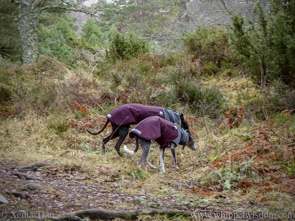 two whippets in winter jackets turning off the forest trail