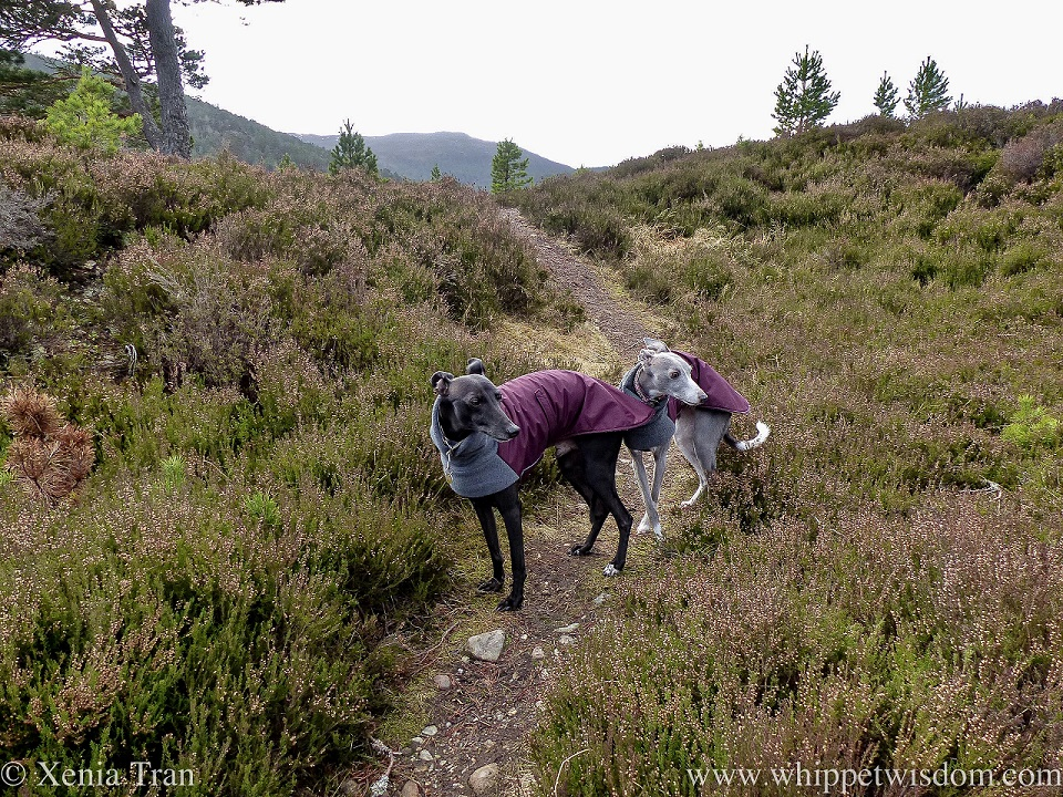 two whippets in winter jackets looking over their left shoulder on a mountain trail