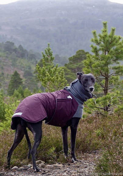 a black whippet on a mountain looking back at the camera
