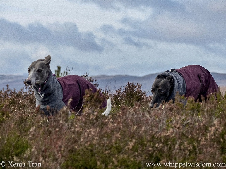 close up shot of two whippets running through heather