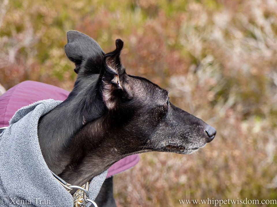 a mature black whippet in a winter jacket gazing across the heather
