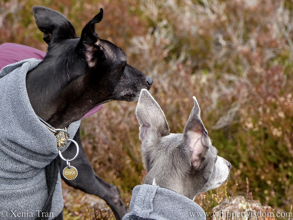 head shots of a black whippet and blue and white whippet looking ahead