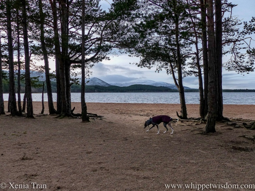 a blue and white whippet in a winter jacket on the shore of Loch Morlich