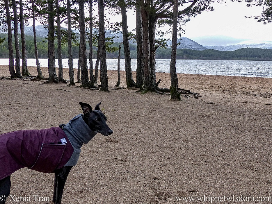 a black whippet in a winter jacket beside pine trees on the loch shore
