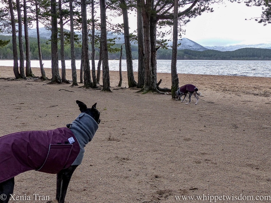 two whippets in winter jackets beside pine trees on the loch shore