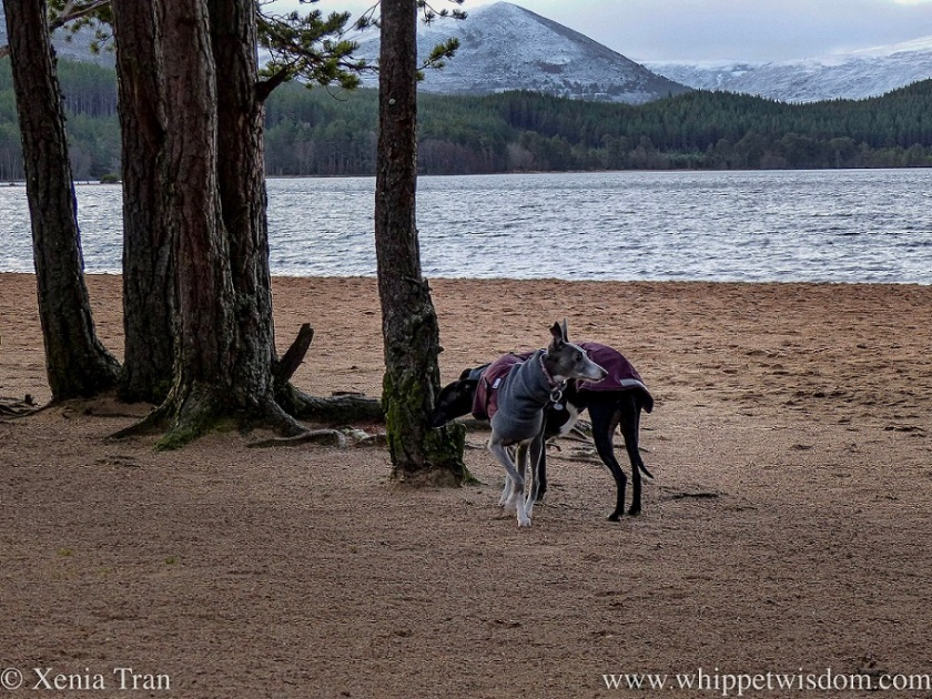 two whippets in winter jackets on a beach beside a loch