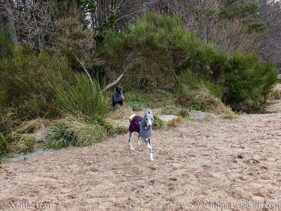 a blue and white whippet running onto the beach followed by a black whippet