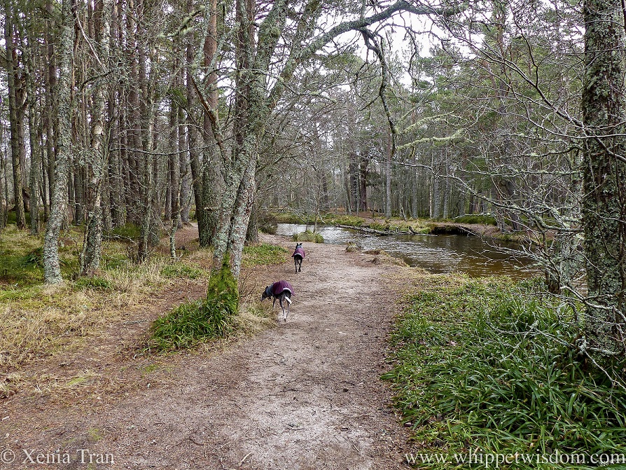 two whippets in winter jackets walking on a forest trail beside a stream