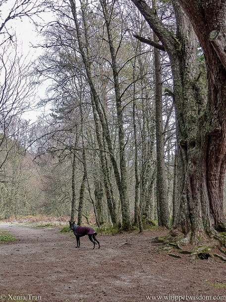 a black whippet in a winter jacket on a forest trail with leafless trees