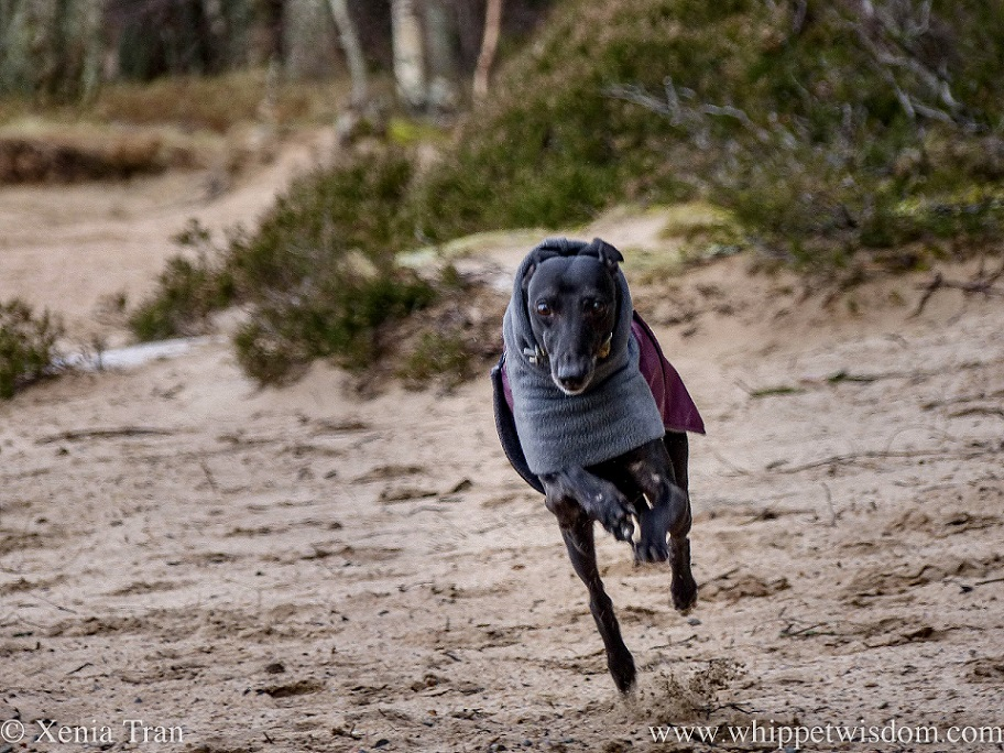 a black whippet in a winter jacket flying across the sands
