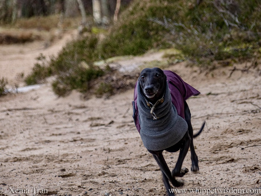 a running black whippet in a winter jacket in full flow