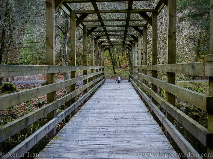 a blue and white whippet in a winter jacket running across a wooden bridge