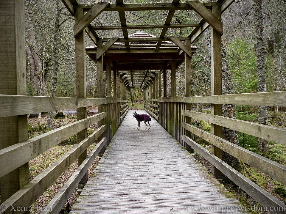 a blue and white whippet in a winter jacket pausing on a wooden bridge
