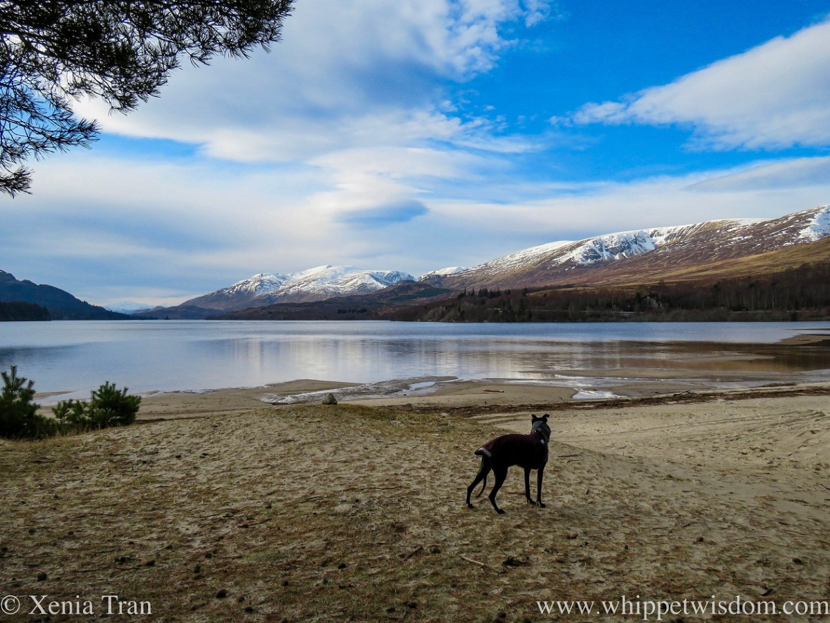 a black whippet in a winter coat gazing out across Loch Laggan