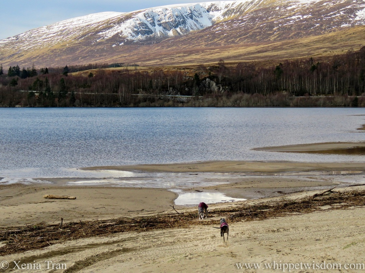 two whippets in winter jackets on the beach at Loch Laggan