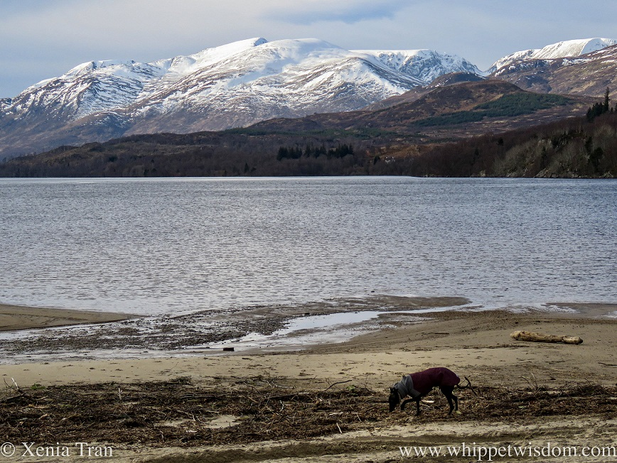 a black whippet in a winter jacket sniffing driftwood on the beach at Loch Laggan