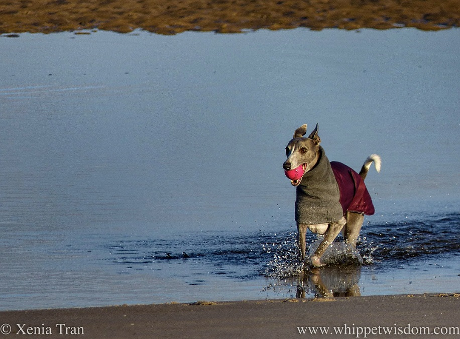 a blue and white whippet walking through a lagoon with a pink ball