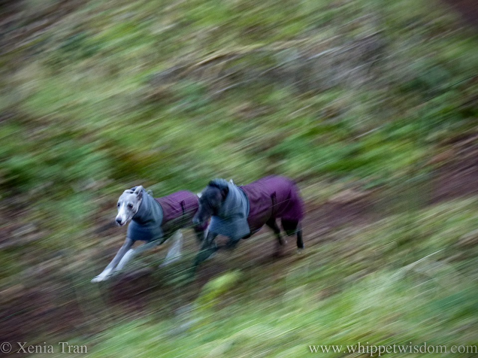 a panned action shot of two whippets in winter jackets running side by side
