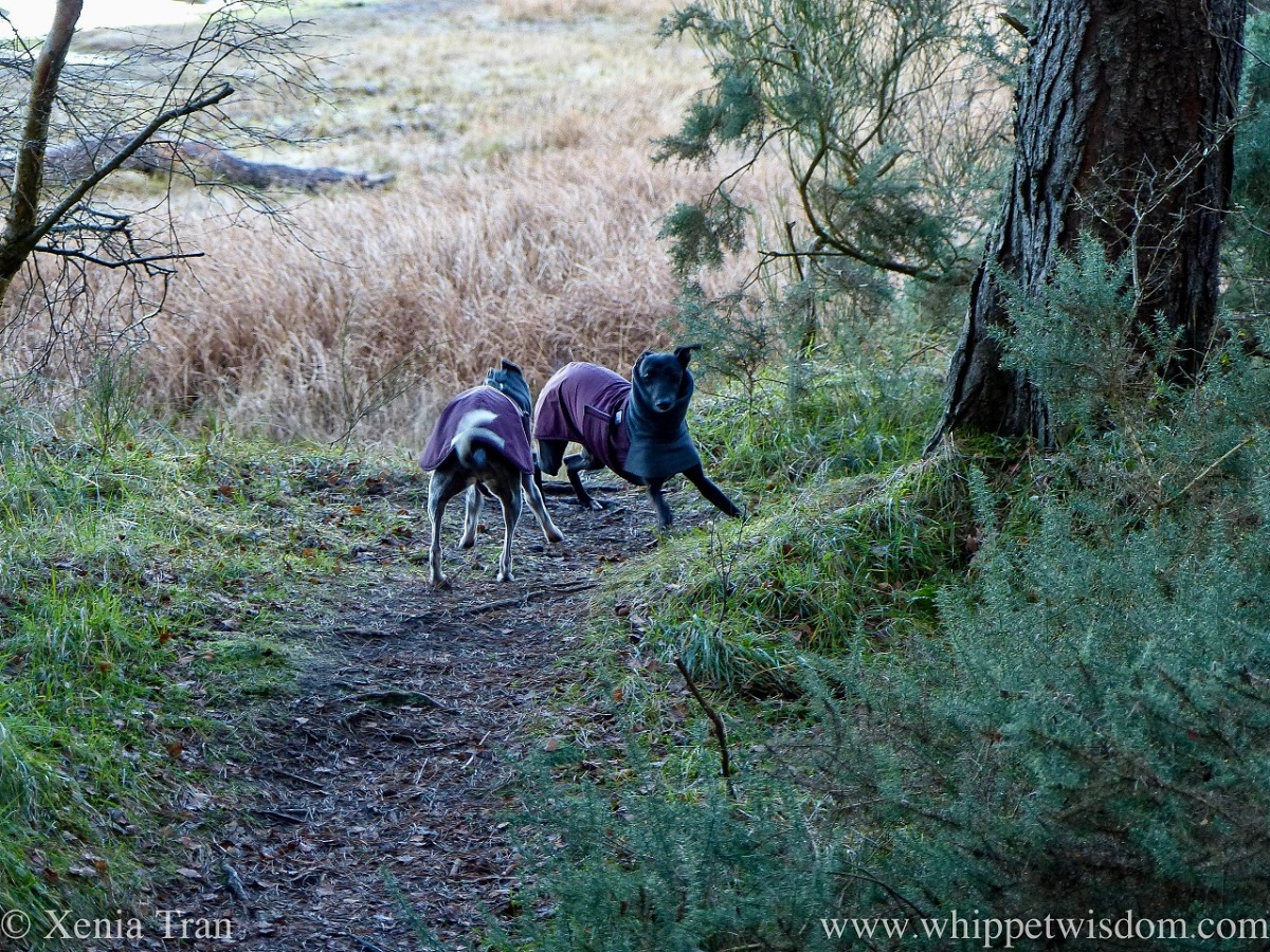 two whippets in winter jackets playing on a forest trail