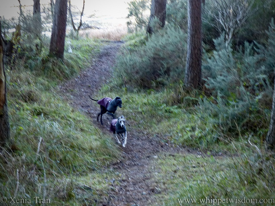 two whippets in winter jackets running through a forest