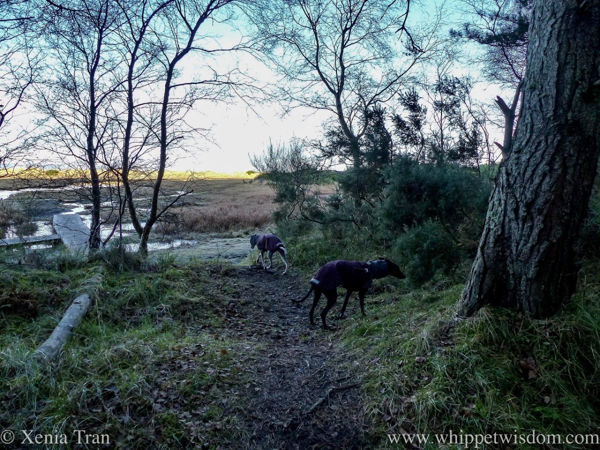 two whippets in winter jackets at the edge of a forest overlooking marshes