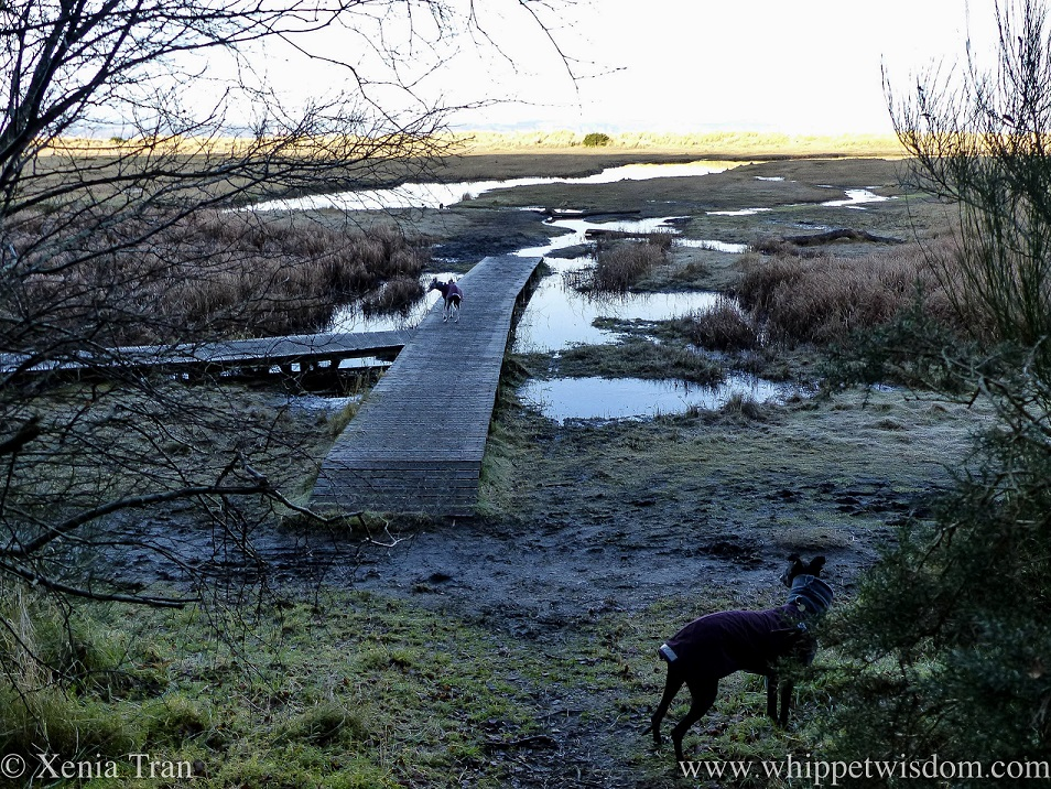 two whippets in winter jackets looking to their left across the frozen marshes