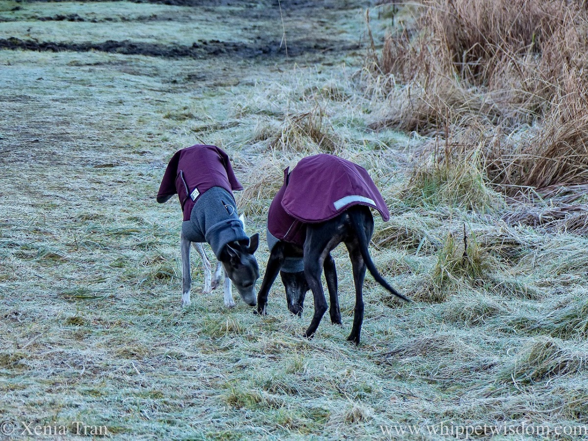two whippets in winter jackets sniffing frozen grass together