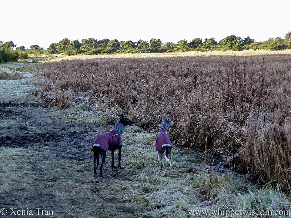 two whippets in winter jackets peering over the reeds on the edge of a marsh