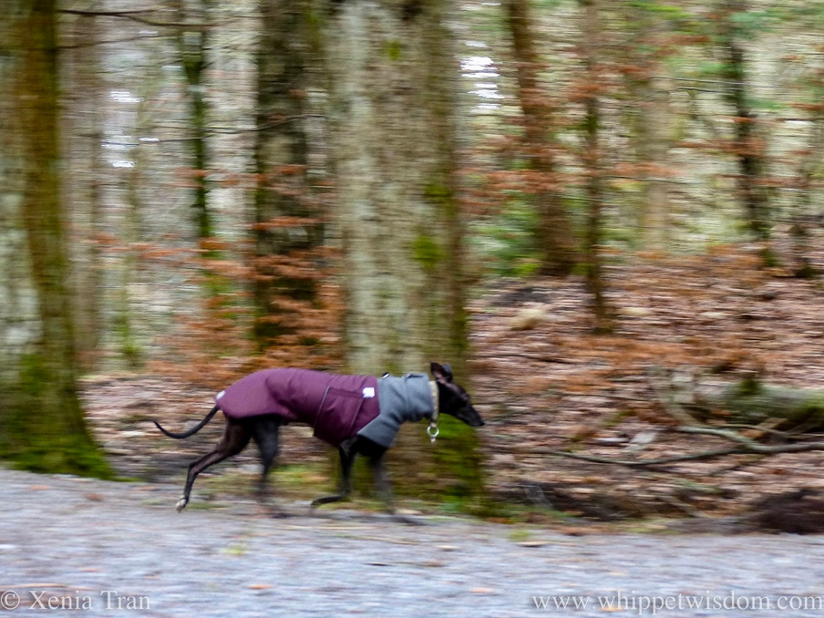 action shot of a black whippet in a winter jacket running down a forest trail