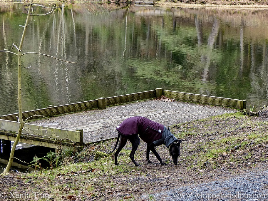a black whippet in a winter jacket sniffing the ground beside a loch