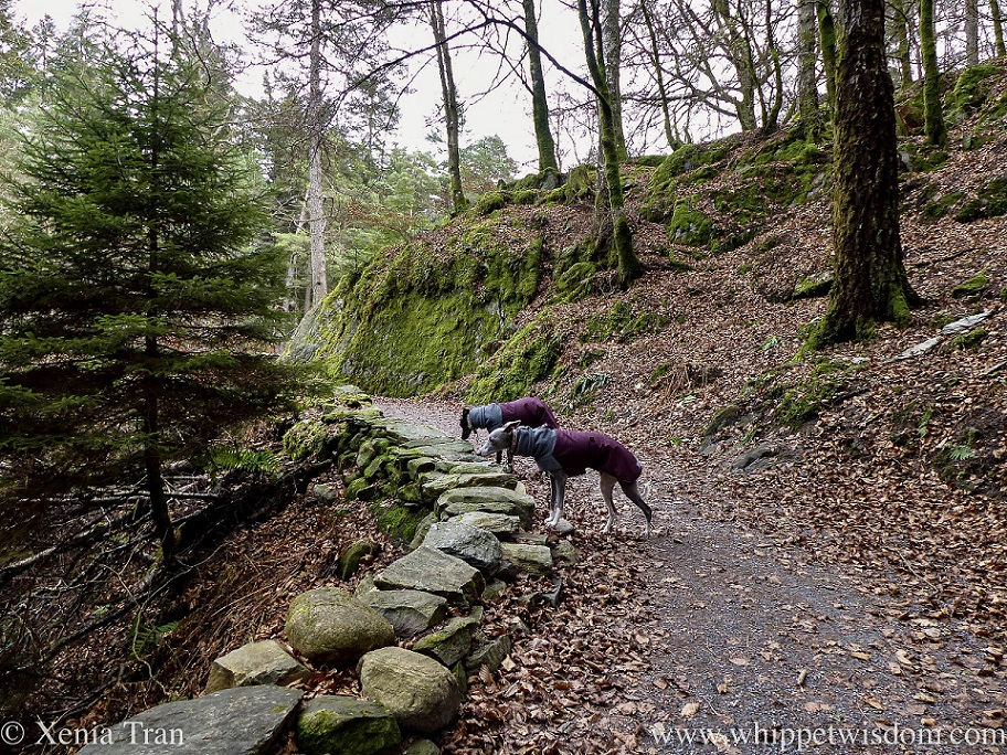 two whippets in winter jackets sniffing brown leaves and stones