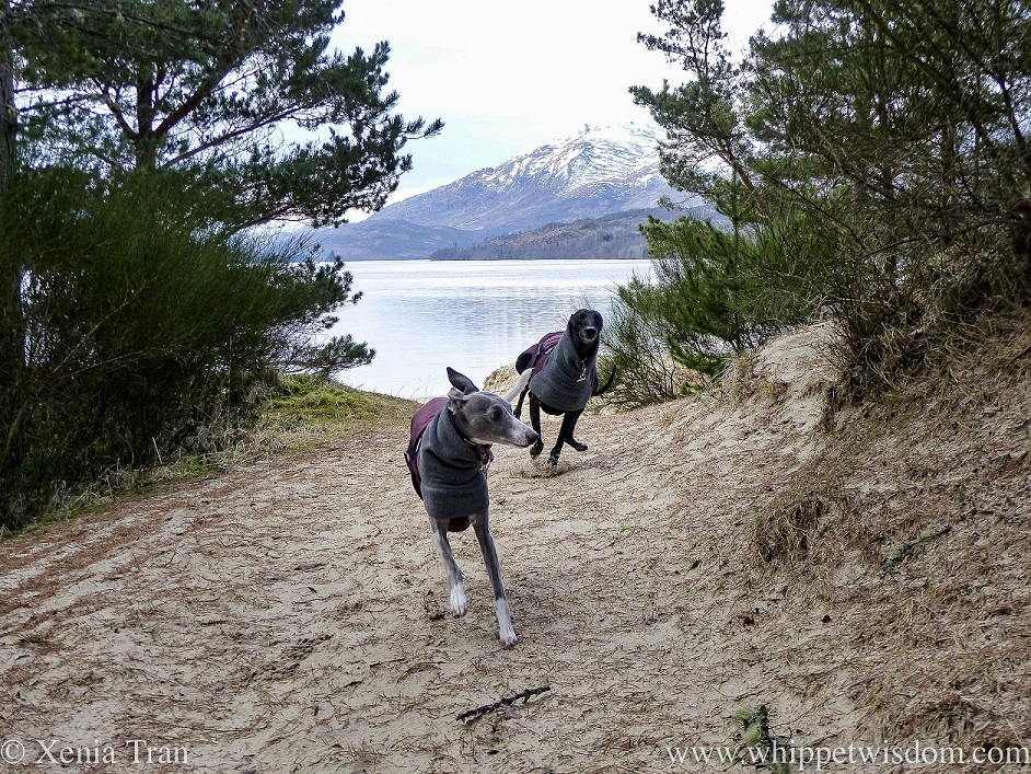 two whippets in winter jackets running up a sandy path above Loch Laggan