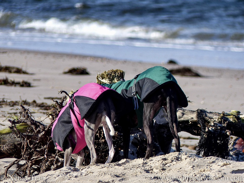 two whippets in winter jackets bending down to sniff driftwood on the beach