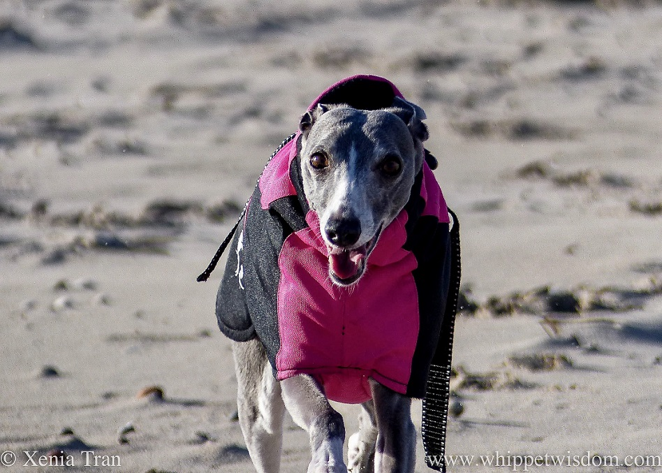 close up shot of a smiling blue and white whippet in a winter jacket running on the beach