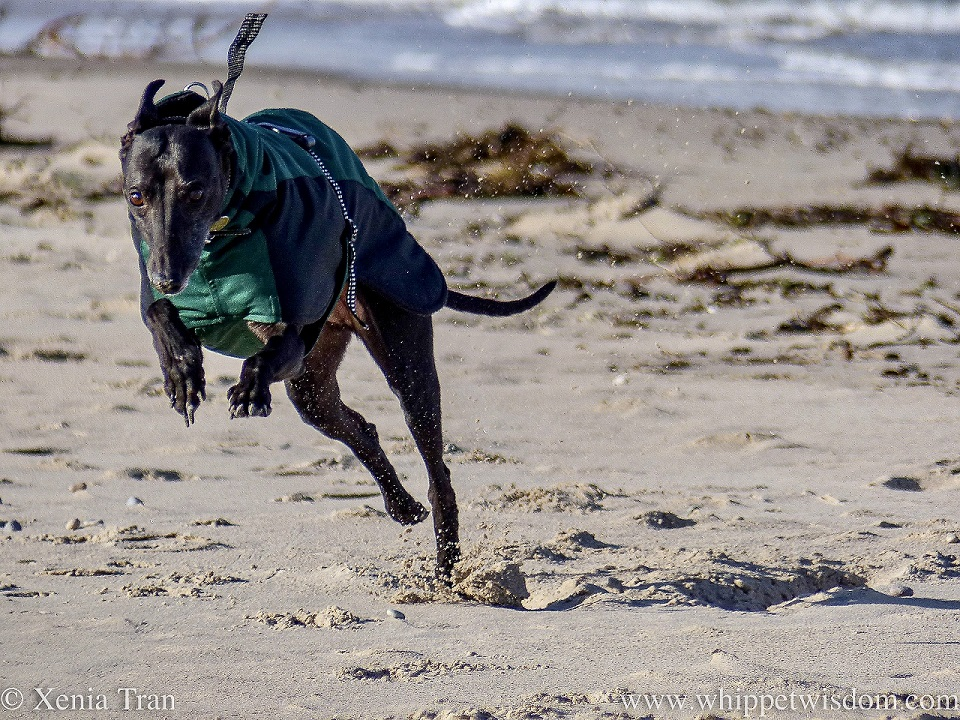 a black whippet in a winter jacket leaping across the beach