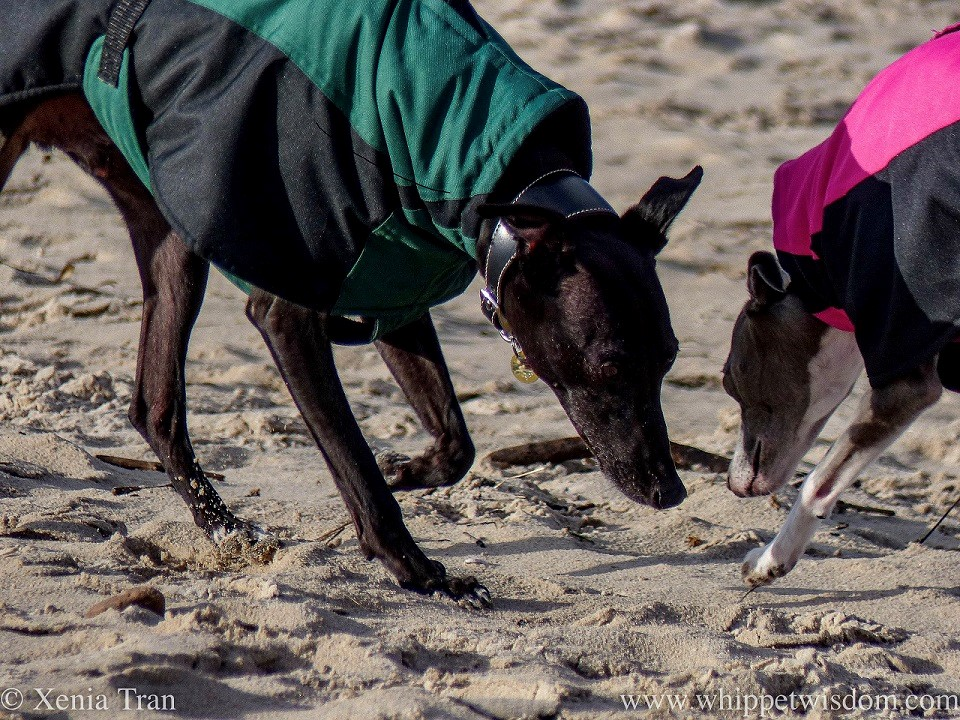 side on close up shot of two whippets in winter jackets on the beach bending down to sniff the sand